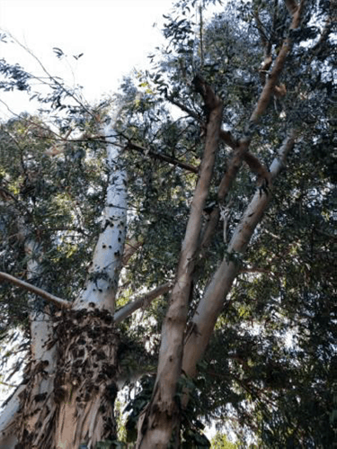 Peralta-Creek-Tree